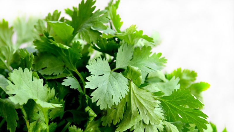 propiedades del cilantro